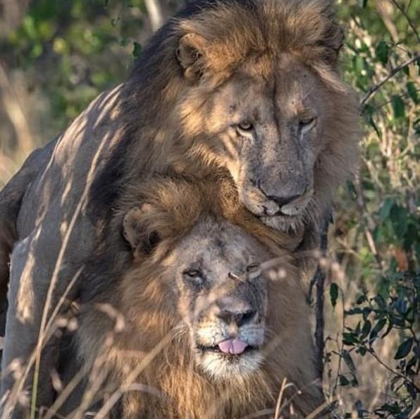 Resultado de imagen para imagenes de leones homosexuales en kenia