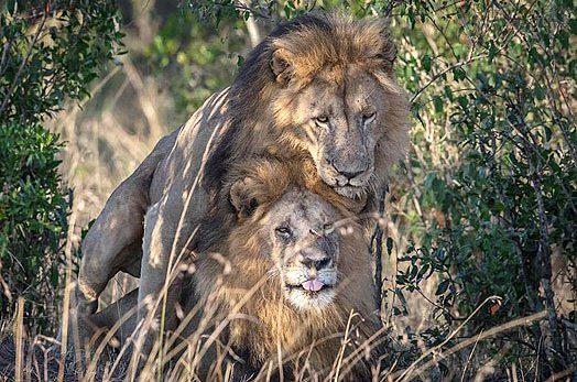 """Jefe de Censura Cinematográfica de Kenia dice que leones """"homosexuales"""" están poseidos"""