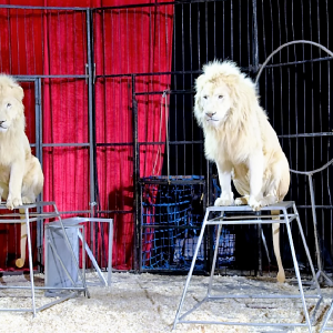 Ante prohibición animal, nuestros circos decidieron irse de 'mojados' a EU